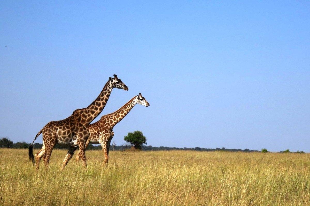 Giraffe-Masai-Mara-Savannah