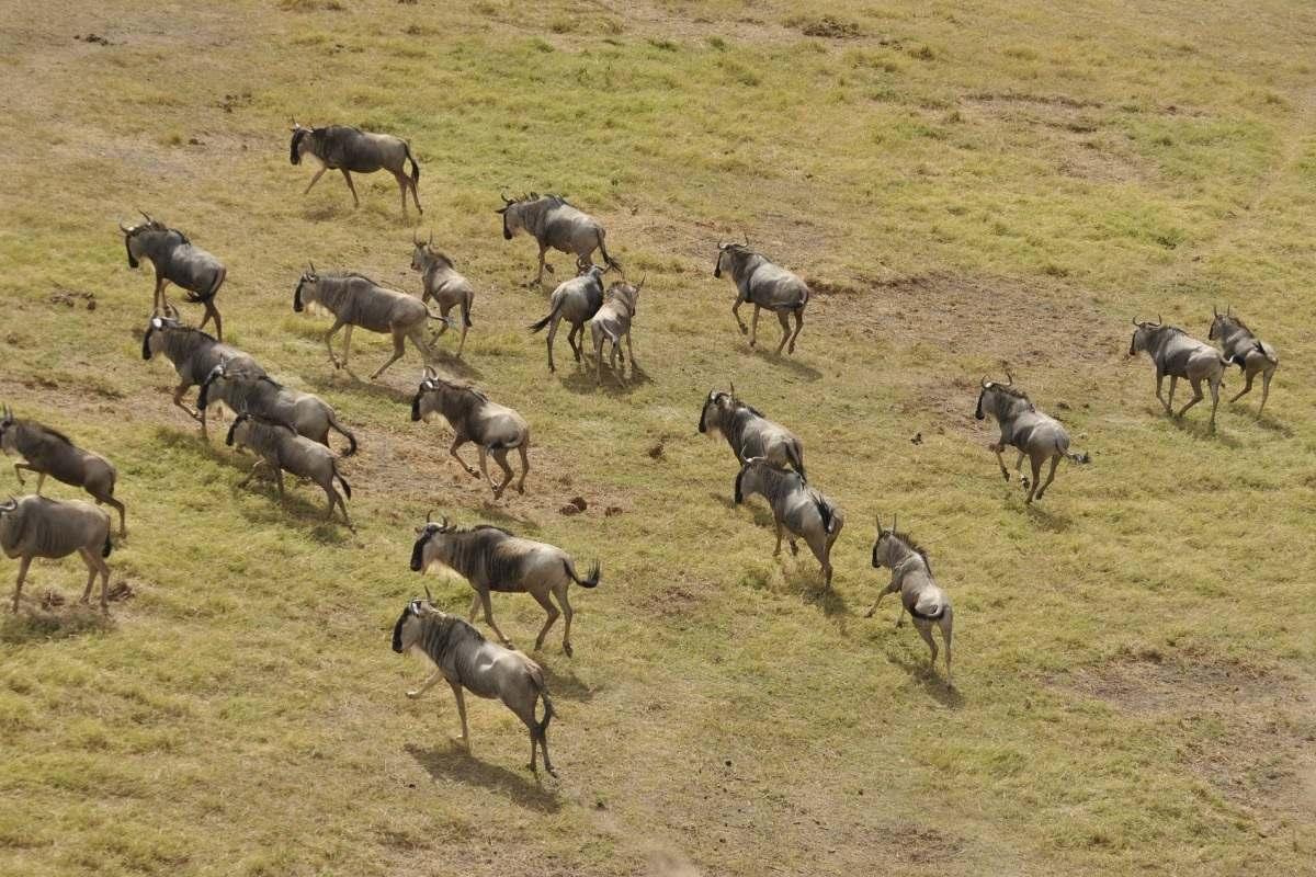 wildbeest-migration-Masai-Mara